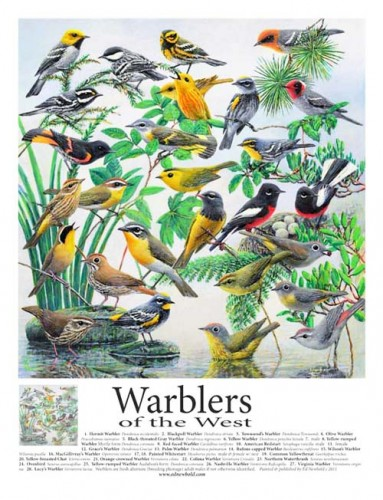 #252 Warblers of the West 14 x 18