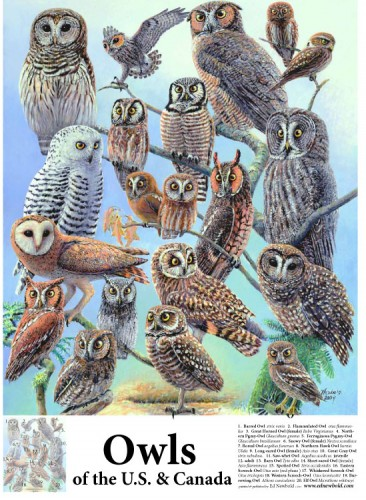 #250 Owls of the US & Canada 14 x 18