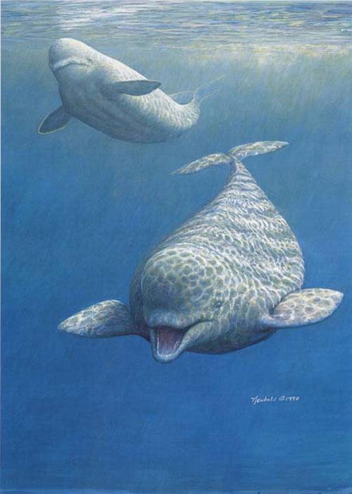 #214 Beluga Whales