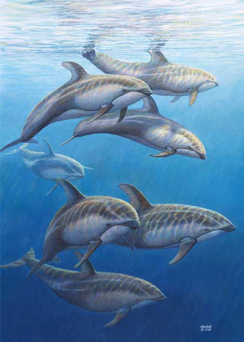 #12 Pacific White-sided Dolphins