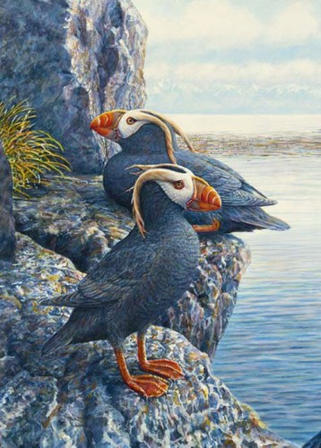 #32 Tufted Puffins