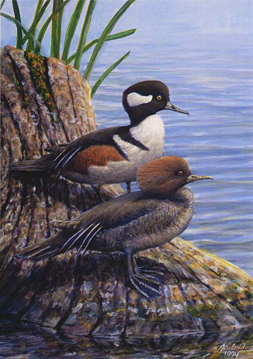 #33 Hooded Merganser