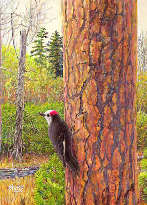#63 White-headed Woodpecker