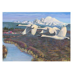 NC Series 1 #7 Trumpeter Swans over the Skagit Delta