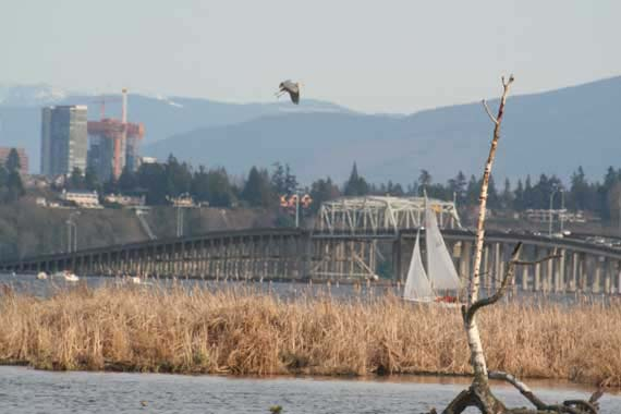 Great Blue Heron over the 520 Bridge from Union Bay, Seattle