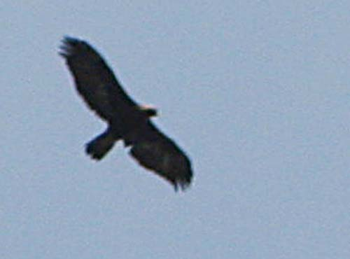Golden Eagle over Skagit WRA Feb 21, 2011