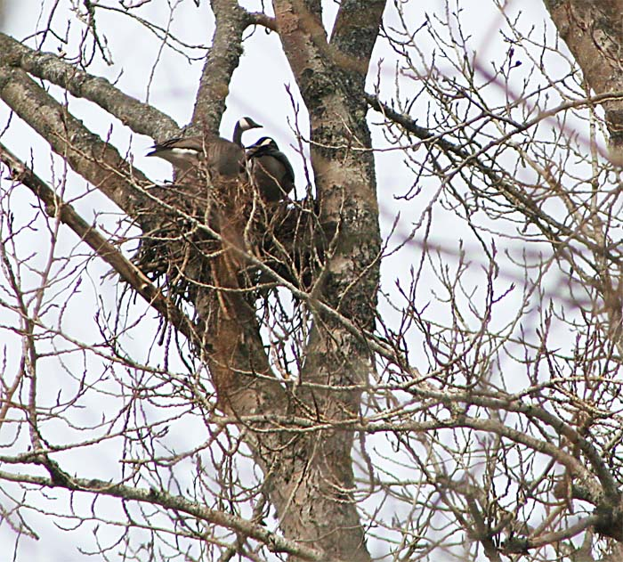 Canada Geese in a Bald Eagle nest