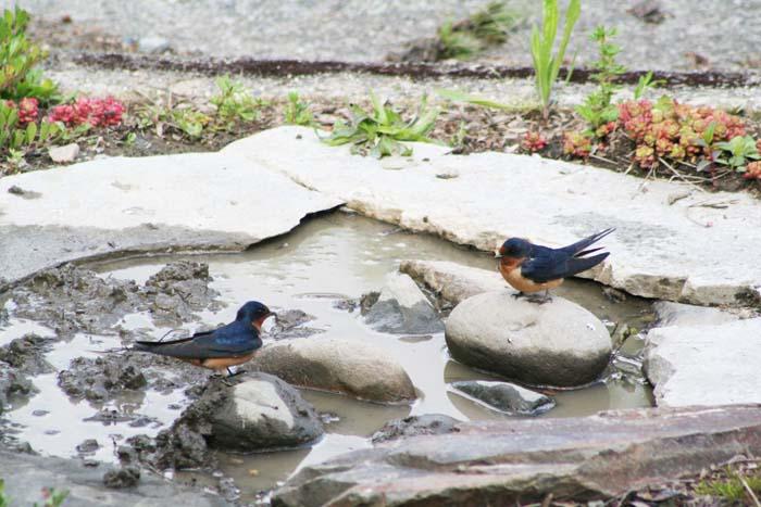 Ed Newbold Swallows Arriving Critical Breeding Season