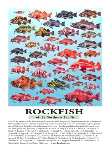Rockfish miniposter for ws 2018