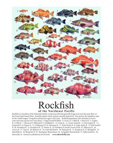#386 Rockfish mini-poster