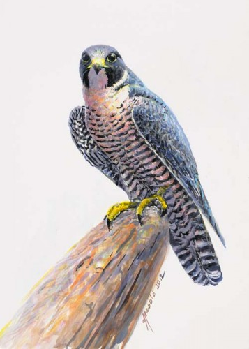 Peregrine Falcon, painting by Ed Newbold