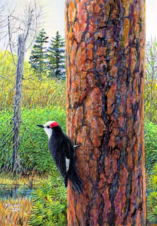 White-headed Woodpecker painting by Ed Newbold