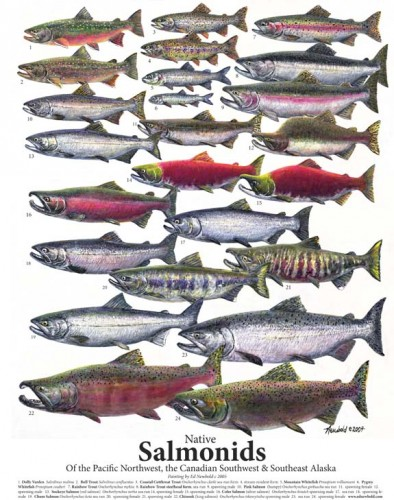 #250 Salmonids 14 x 18