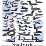 #266 Seabirds of the Northwest 14 x 18