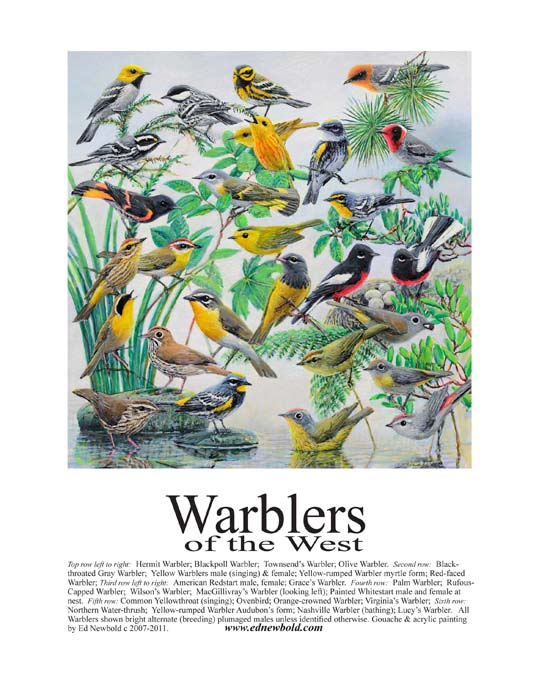 #389 Warblers of the West (8 x 10)