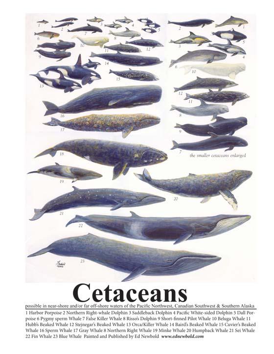 #388 Cetaceans mini-poster (8 x 10)