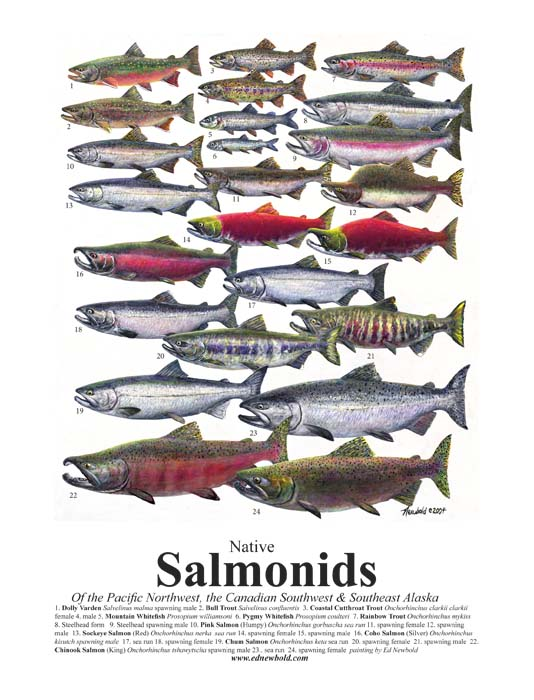 #109 Salmonids Mini-poster