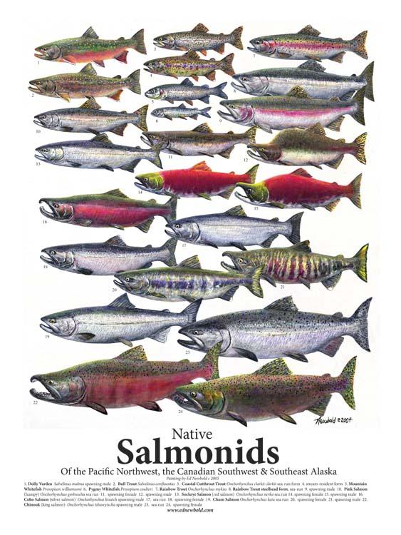#273 Salmonids 18 x 24 (largest)