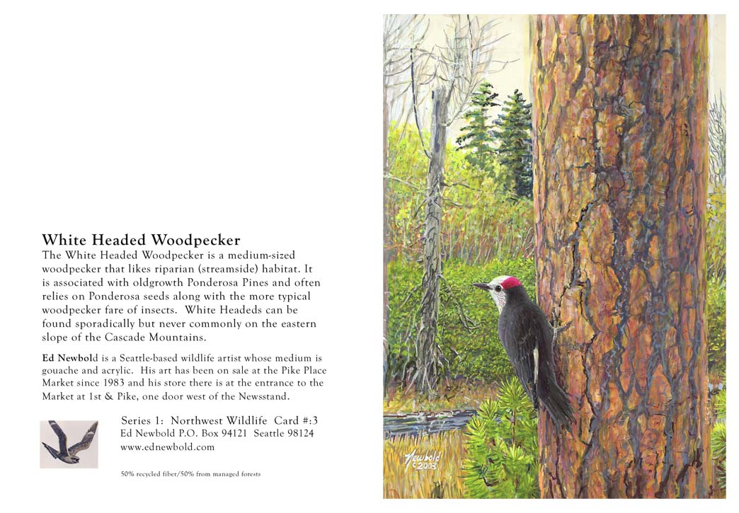 NC Series 1 #3 White-headed Woodpecker