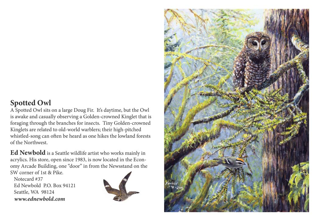 NC #37 Spotted Owl
