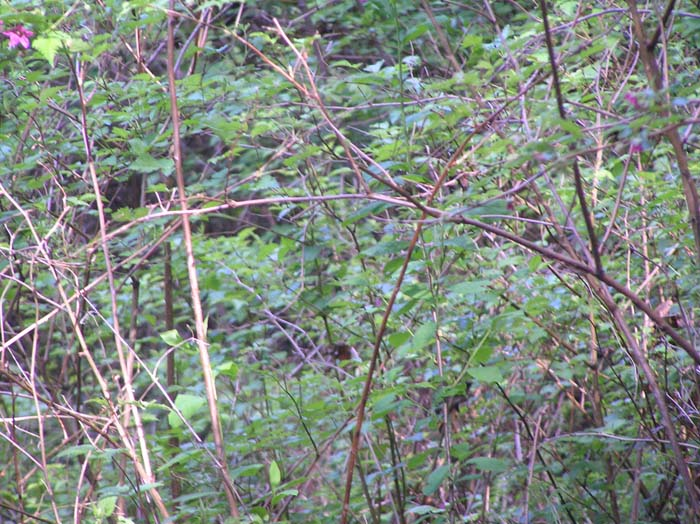 There is a lot of Salmonberry in the wetland.