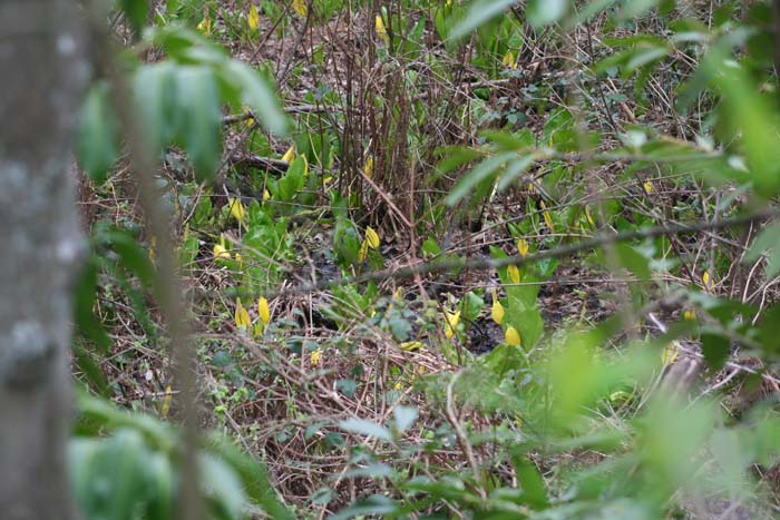 There are many smaller wetland areas and vernal streams in Cheasty. It's basically all wet or steep. Here's a small wetland area with Skunk Cabbage
