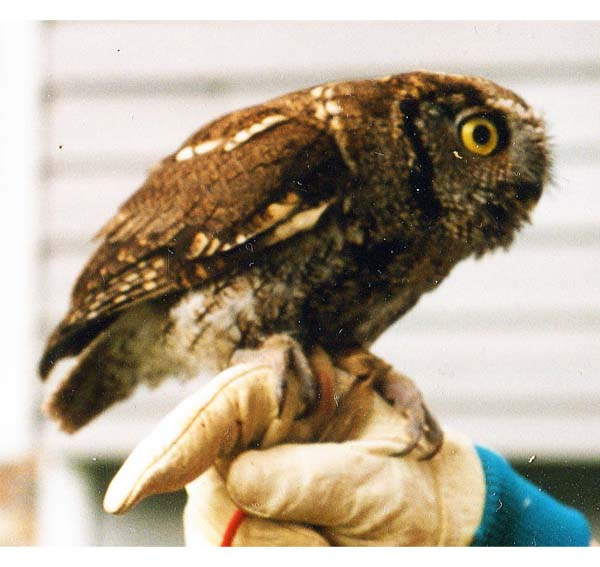western Screech-owl for cheasty essay