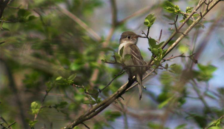 This is an Alder Flycatcher. We had all five Empidonax flycatchers singing in plain sight, never happened before for me.