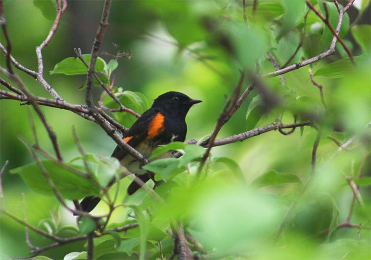 American Redstart was one of the most often seen warblers on the trip