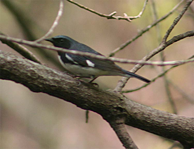 The Black-throated Blue Warblers were already mostly through when we got to Magee, but on Weds at least 2 males and 2 females showed up.