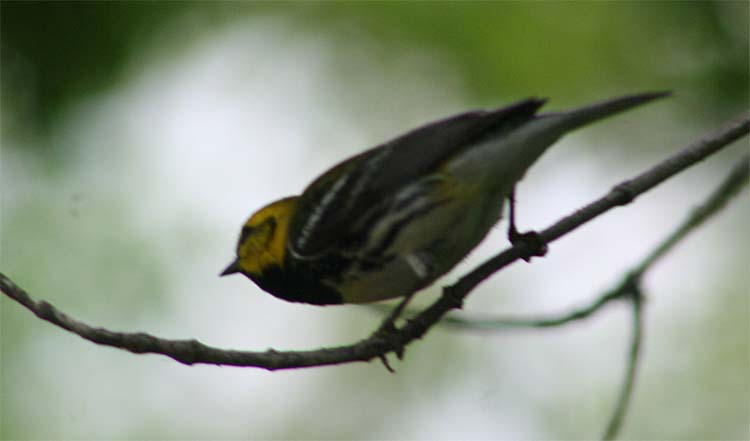 A truly poor shot of a Black-throated Green Warbler, which is one handsome warbler.