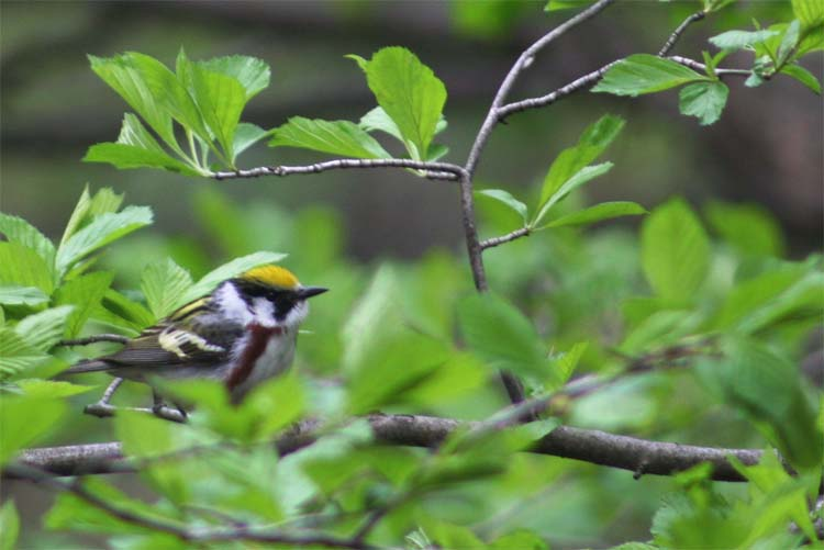 A male Chestnut-sided Warbler near Chicago.