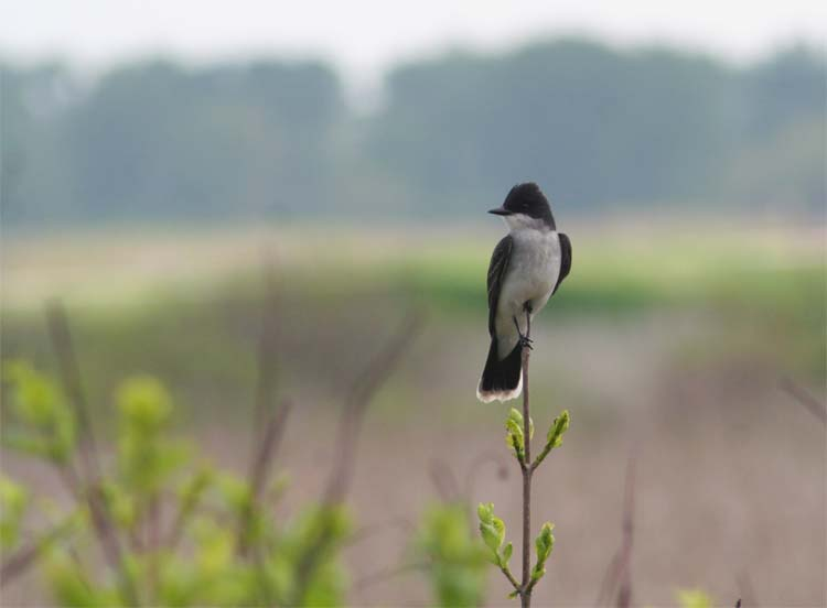 In my opinion, this shot of an Eastern Kingbird at Magee Marsh was the most artistic shot I got the whole trip