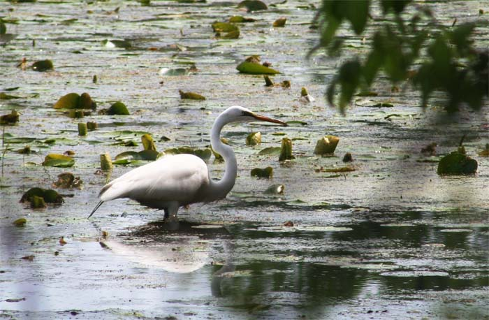 Great Egrets were fairly common at Magee Marsh.