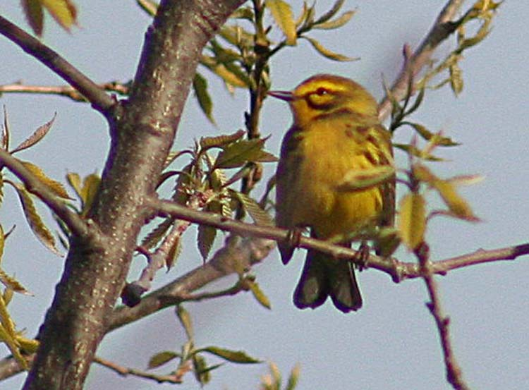 We only saw one Prairie Warbler, which is having conservation difficulties