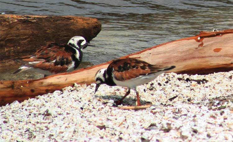 Ruddy Turnstones on the shore of Lake Erie at Magee Marsh in Ohio