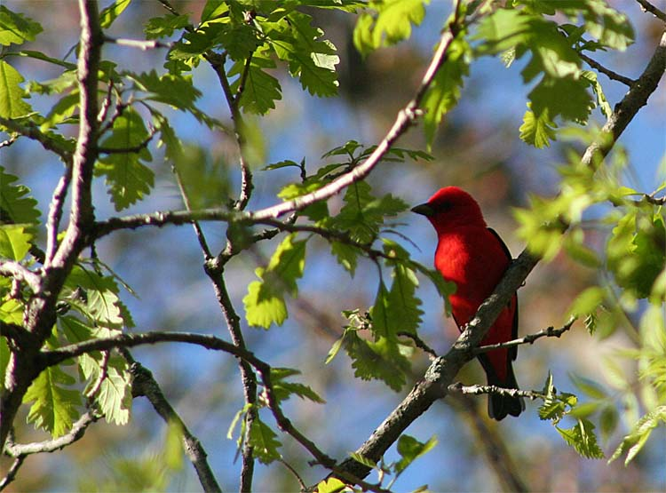 It's impossible not to try to photograph a Scarlet Tanager if there is a camera in your hand.