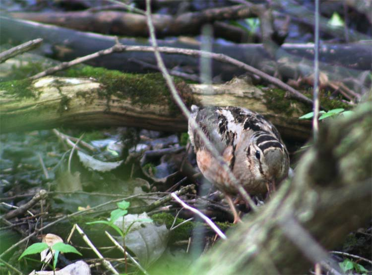 I hadn't seen a Woodcock in ages. This was at Magee Marsh, but we also kicked one up in Michigan