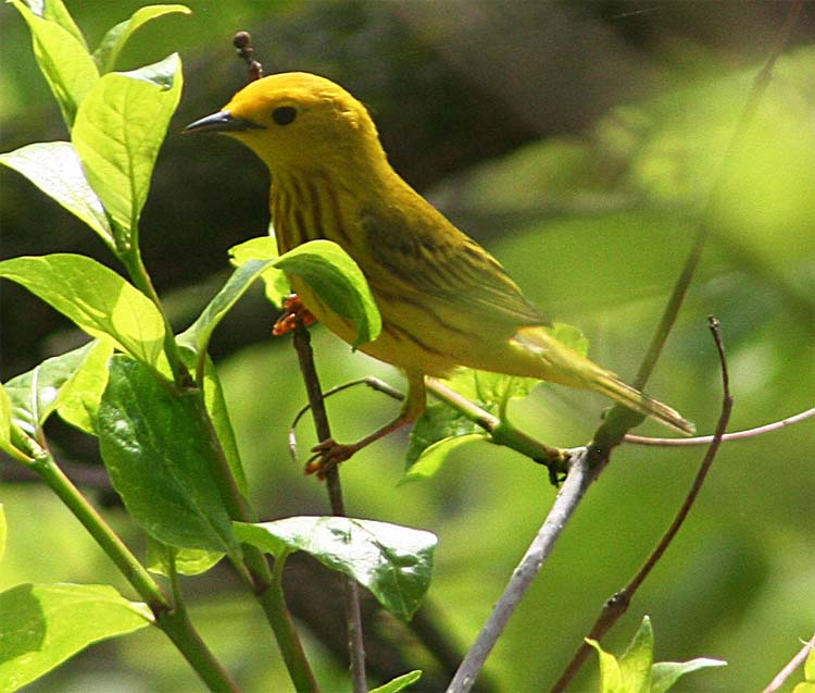 Especially toward the end, Yellow Warblers became the most common warbler but there sure were a lot of Magnolias, which moved too fast for me
