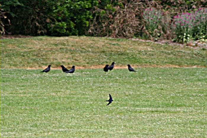 Barn Swallow in flight grass