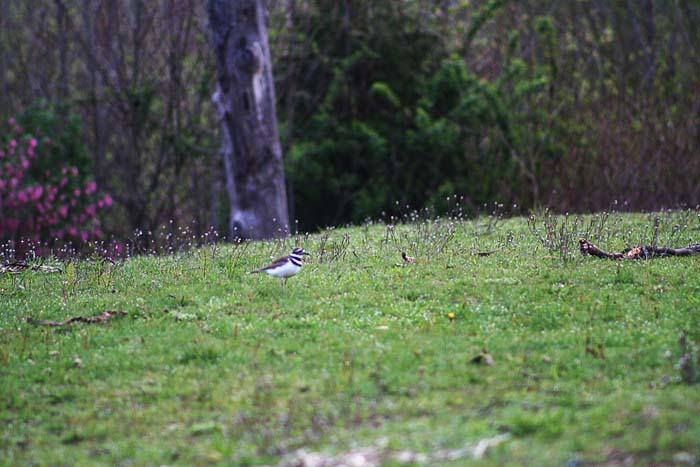 Killdeer at Magnuson meadow