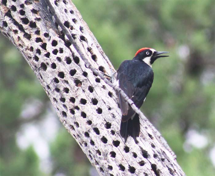 bootheel blog 11 acorn woodpecker