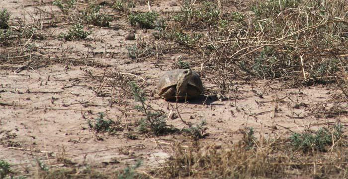 bootheel blog 6 tortoise