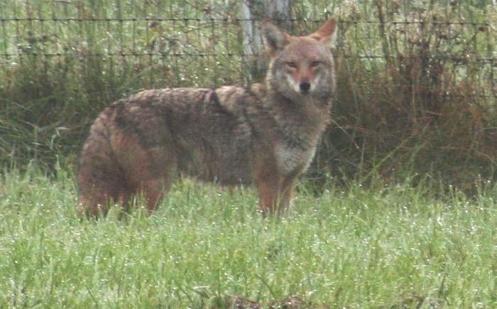 blog fall coyote 1