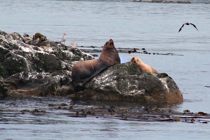blog fall sea lions