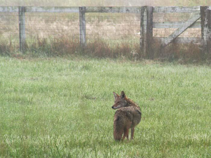 fall blog coyote 2