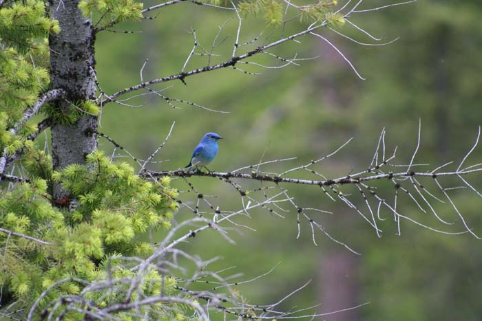 This is a Mountain Bluebird from the Taneum drainage of the Cascades, a shot I took in 2013, for relief from this blog post