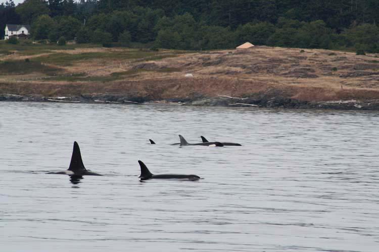 orcas photo en 2014 for fall blog