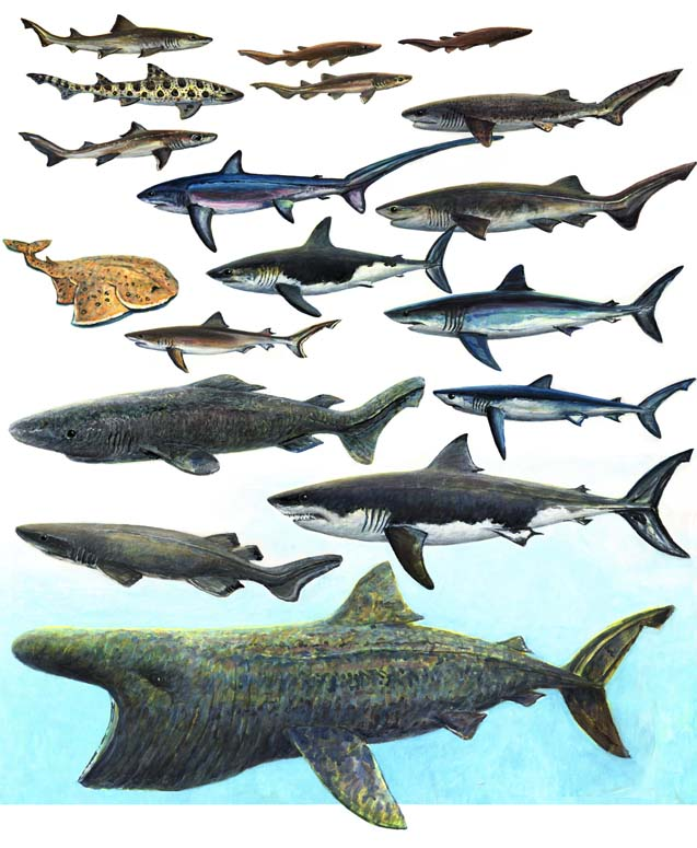 sharks for 18 x 24 10 3 2014 for ws