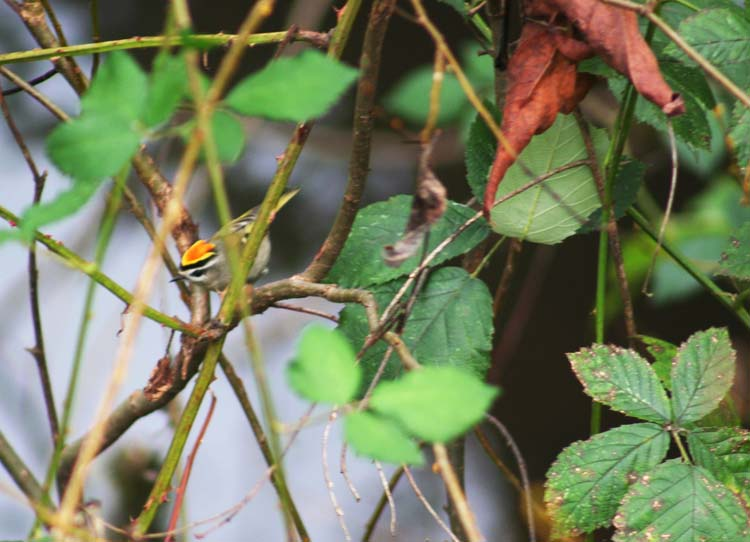 Golden-crowned Kinglet for blog